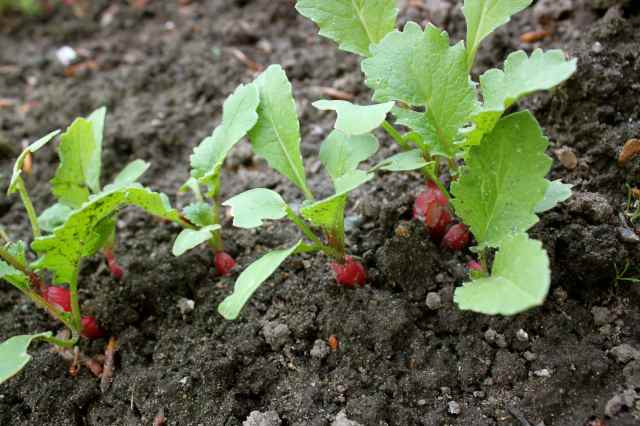 radishes in soil