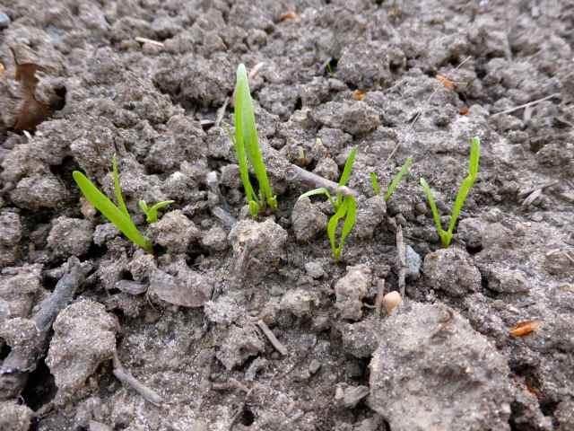 spinach 15-4