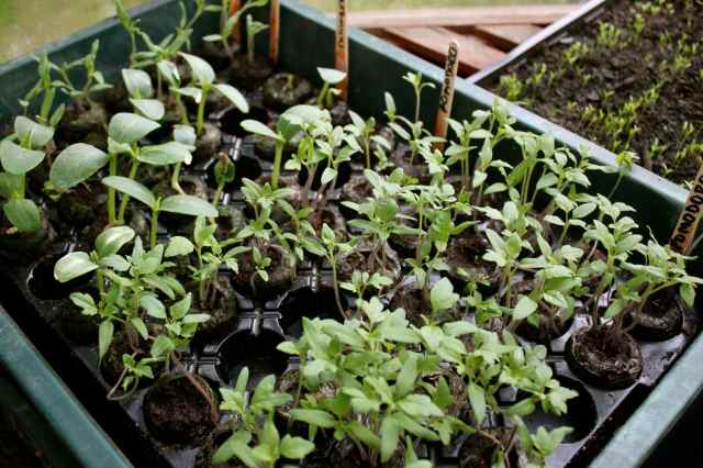 tomato seedlings in coir