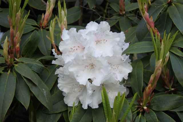 White Rhodedendron