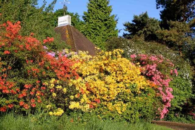 Azalea hedge at home