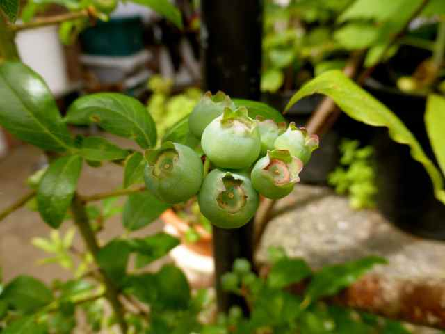 bleberries 23-5-14
