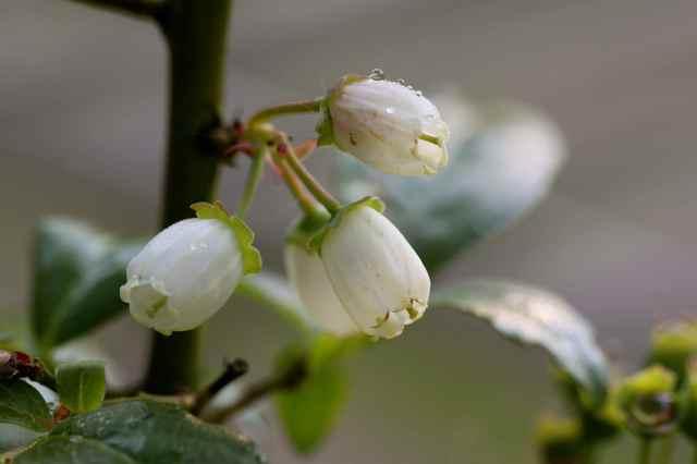 blueberries 6