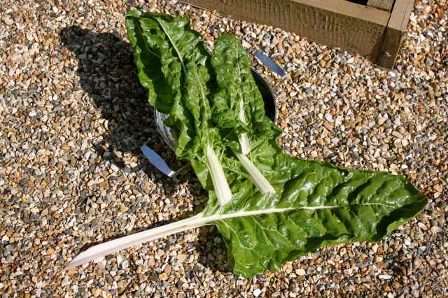 large Swiss Chard leaves