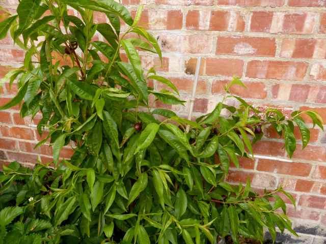 nectarine tree 1