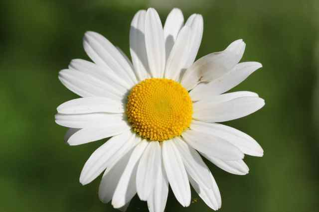 Ox-Eye Daisy 2