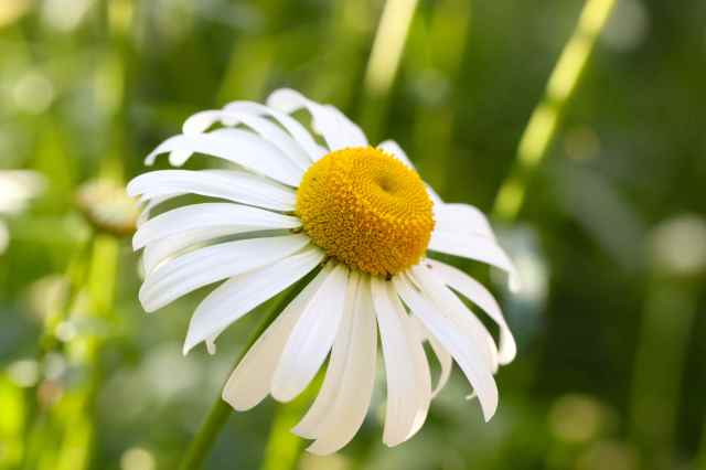 Ox-Eye Daisy