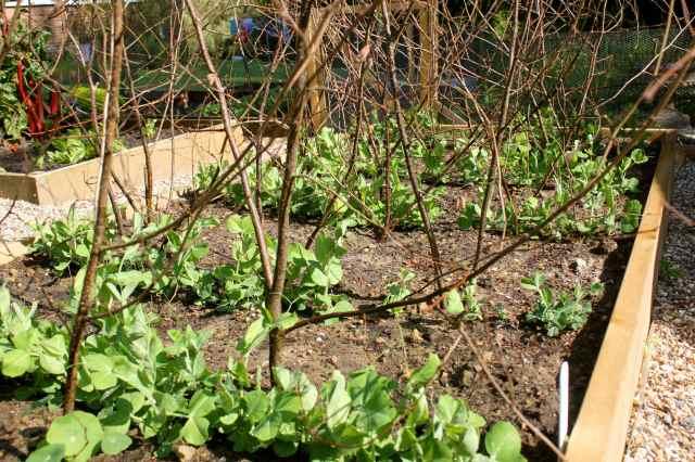 peas and pea sticks