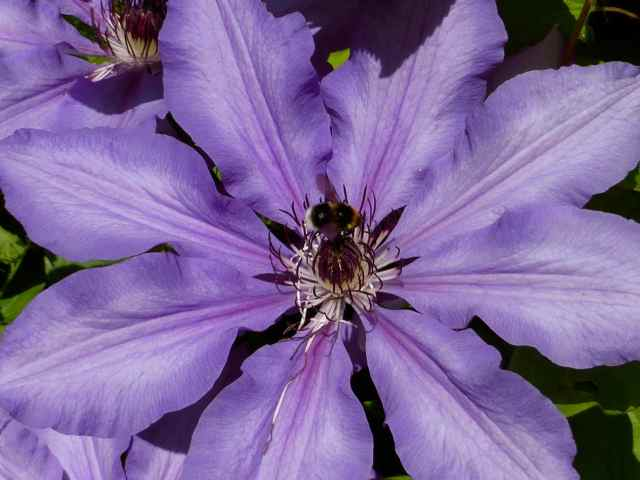 purple clematis 1