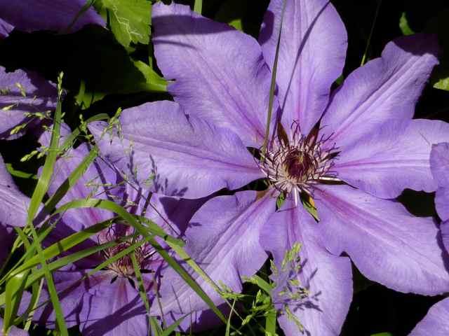 purple clematis 2