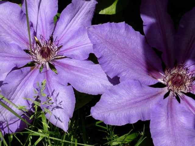 purple clematis 3