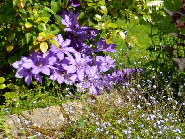 purple clematis 4