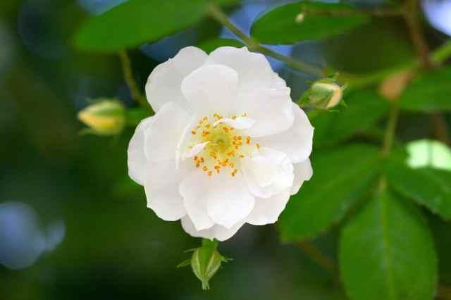 rose in apple tree