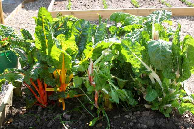 Swiss Chard after pruning