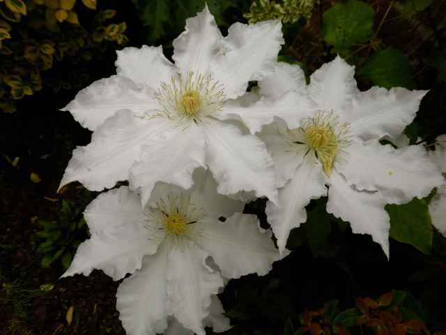 white clematis 23-5-14