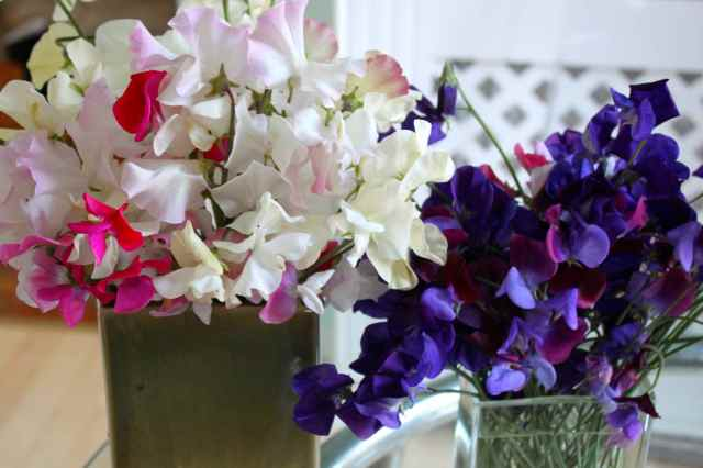 blue and white sweet peas