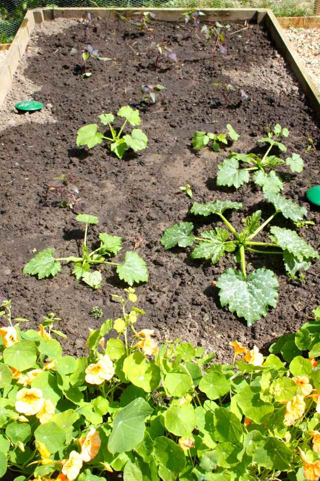 courgette bed