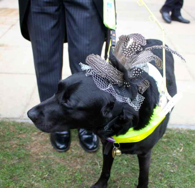 Dog with fascinator
