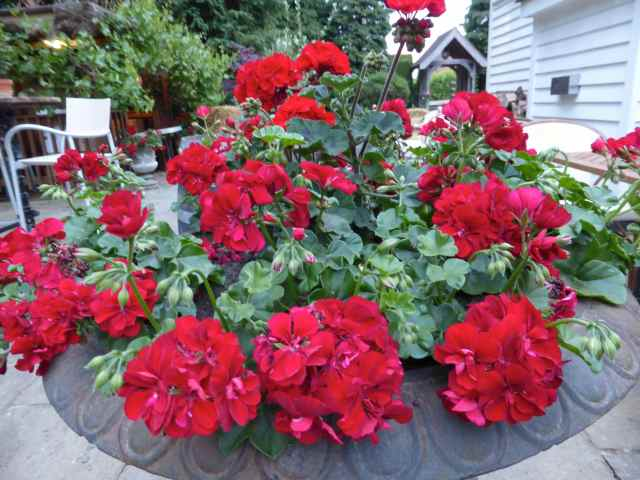 Great House Geraniums