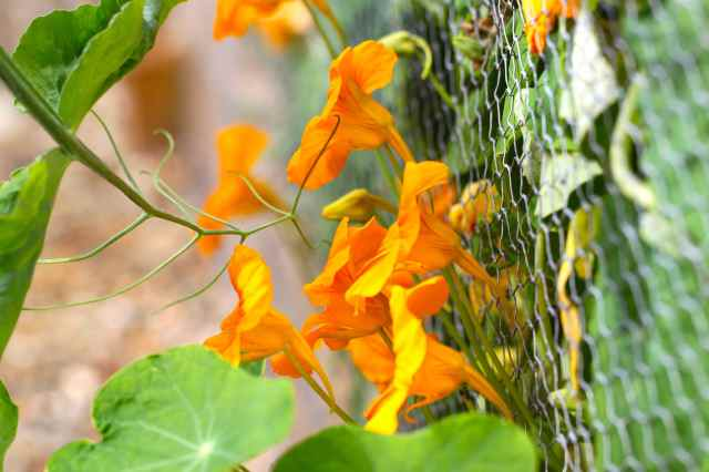 nasturtiums growing through wire fence