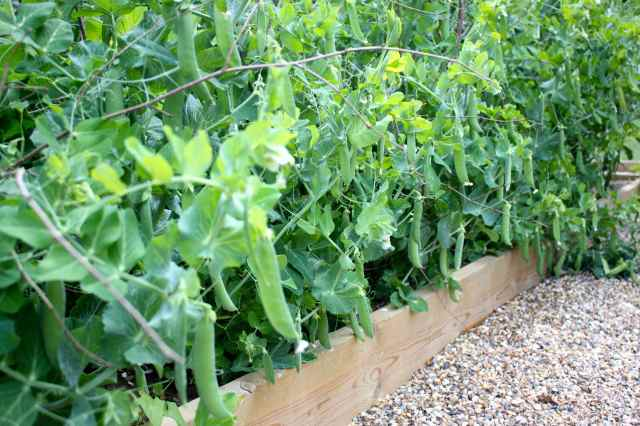 pea pods in garden