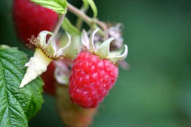 pecked raspberries