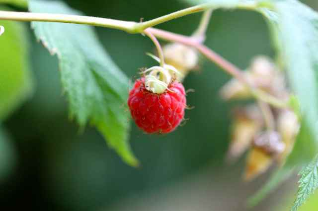 raspberries one