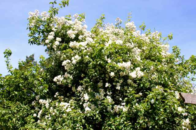 roses on apple tree