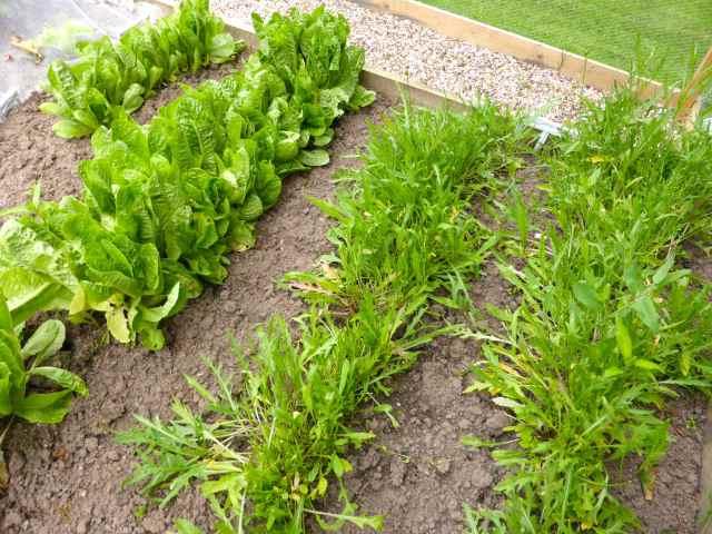 salad in garden 27-6-14