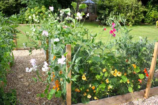 sweet peas and nasturtiums