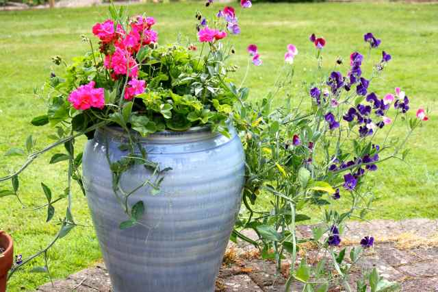 sweet peas in blue pot