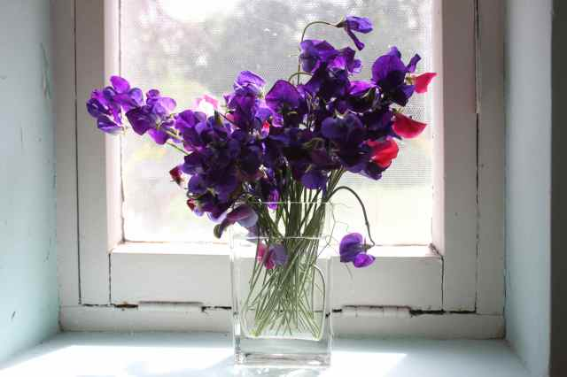 sweet peas in utility room