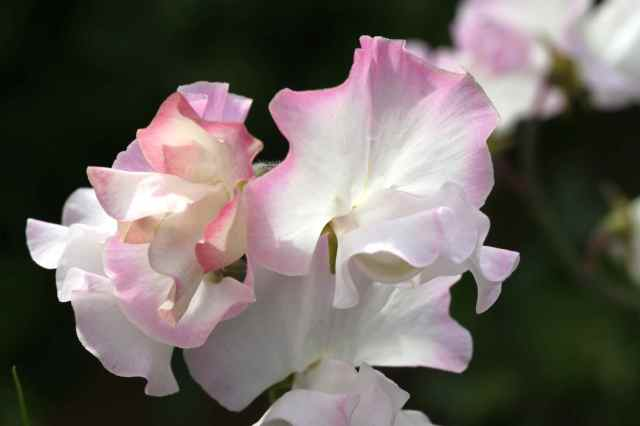 sweet peas white and pink