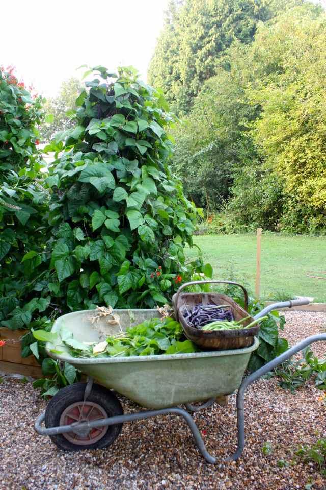 beans and wheelbarrow