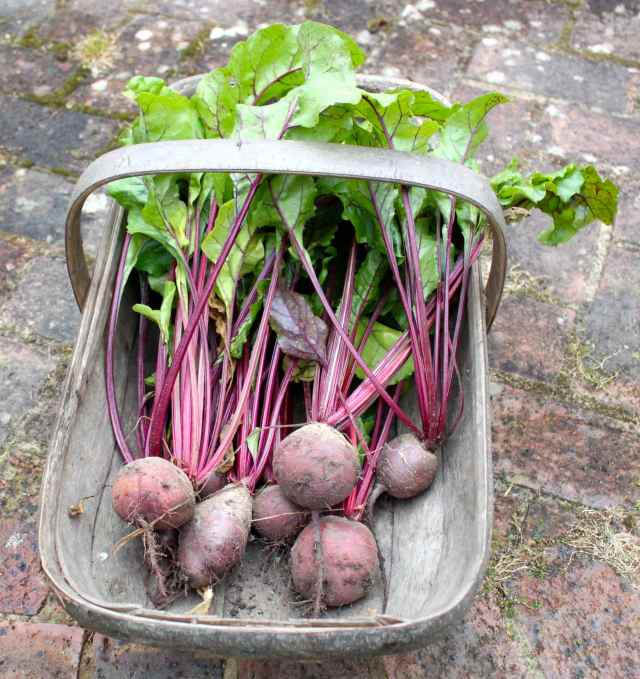 beetroots in trug 1