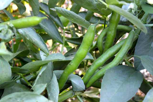 broad beans 15-7