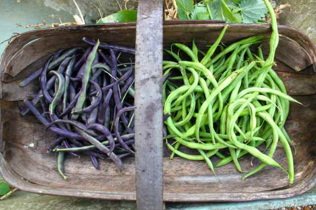 green and purple beans