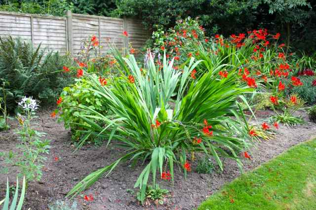 huge crocosmia