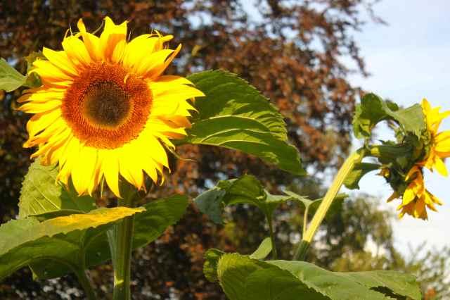 Lara's sunflowers in full bloom