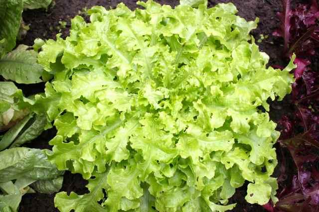 perfect lettuce