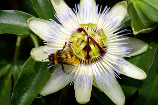 bee on passionflower