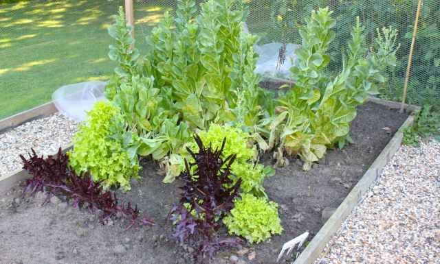 bolted lettuces