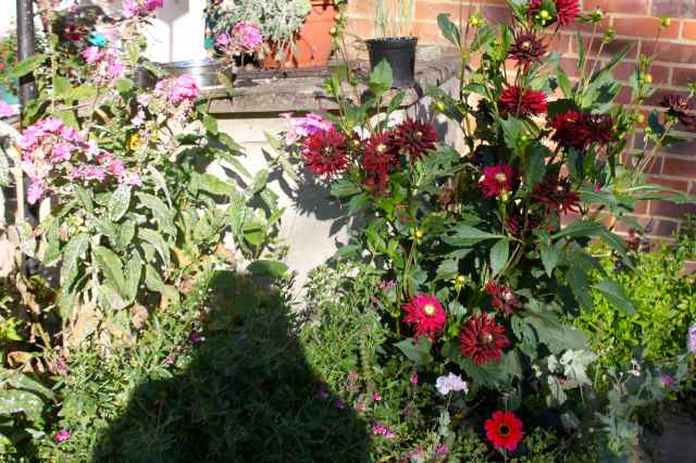Dahlias by coal bunker