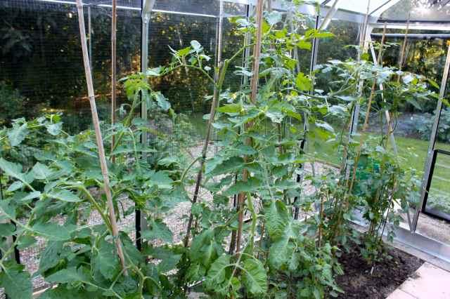 tall tomato plants
