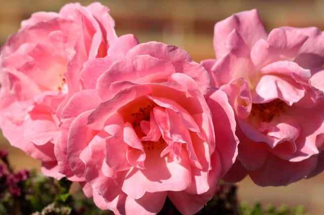 3 roses outside