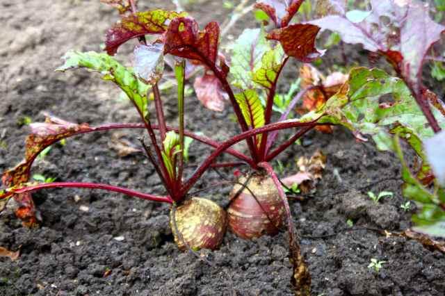 beets in veggie garden