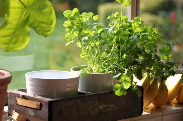 coriander on window sill