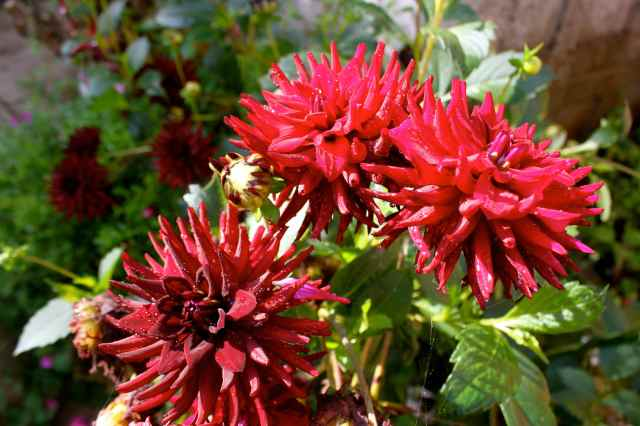 dark red dahlias 2809 2