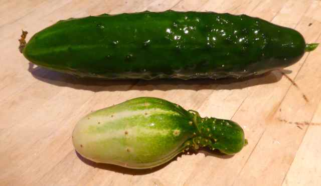 home grown cucumber
