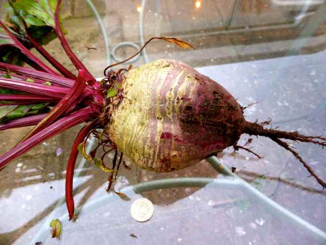 Huge beetroot 1